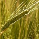 NHKあさイチ情報! 大麦の食物繊維がスゴイらしい!