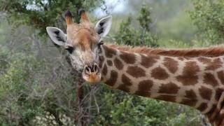 giraffe-281145