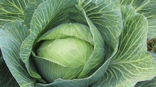 white-cabbage-432608