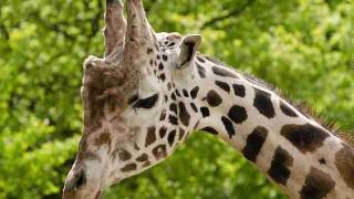 giraffe-165212
