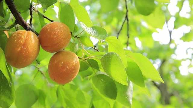peaches-824627