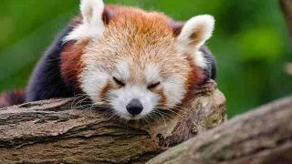 red-panda-1194504