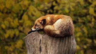 fox-1284512