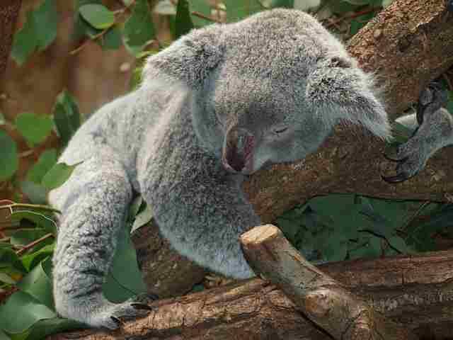 koala-bear-9960