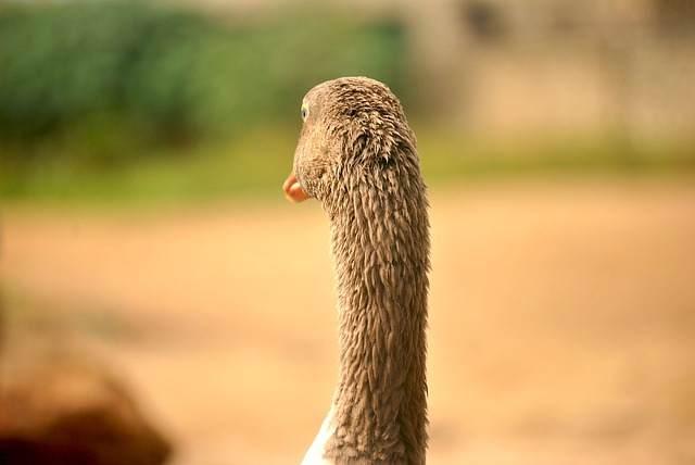 goose-393526