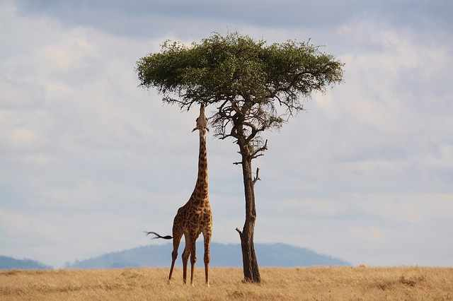 giraffe-2191662