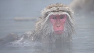 snow-monkey-2403922