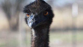 ostrich-691699