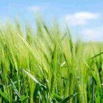脱シャンプーの救いアイテム小麦シャンプー、なぜ小麦?